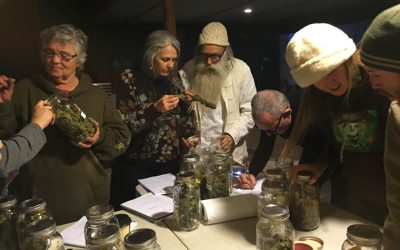 Flower Judging for The Emerald Cup